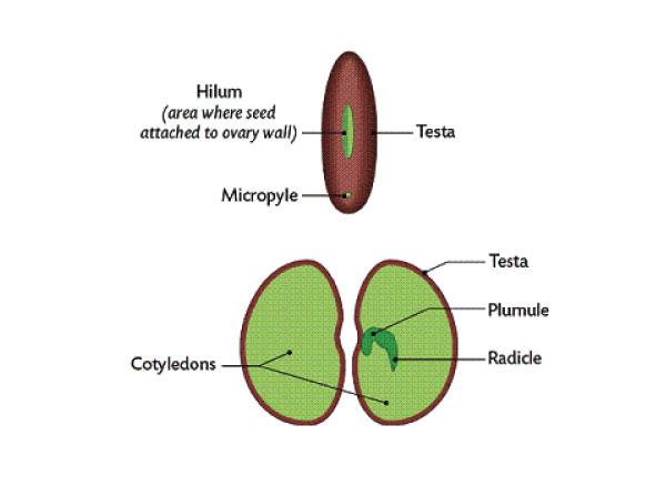 Bean Seed Diagram Hilum Trusted Wiring Diagram