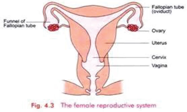 Elimu The Human Reproductive System