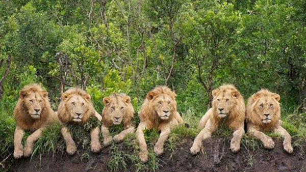 Le lion  toutes les vérités sur le roi des animaux