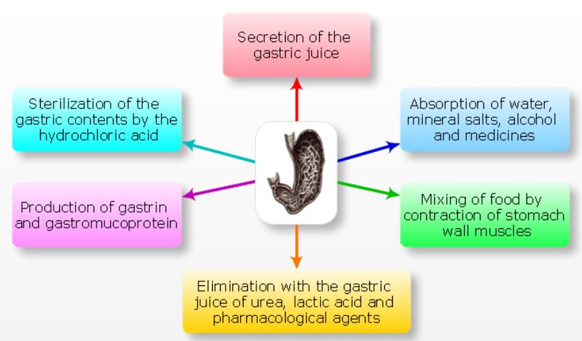 El Sistema Digestivo Del Caballo Parte I further Avian Digestive System 51449308 further Digestive Health likewise Anatomy Physiology Lecture Notes Digestive System besides Digestive Physiology 10987408. on large intestine digestion